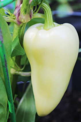 Romanian Pepper
