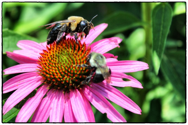 Coneflower Bee1