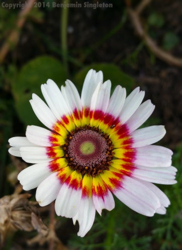 Painted Daisy1