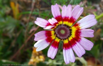 Painted Daisy2