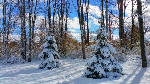 2 snowy trees