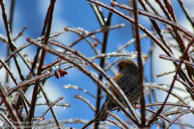 Bird with frozen twigs