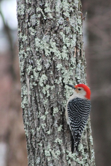 redheaded woodpecker3