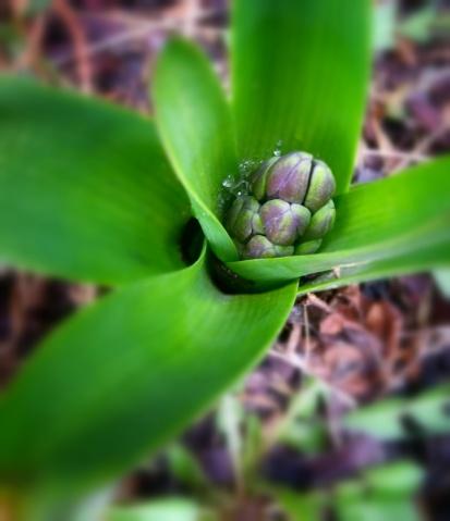 Hyacinth bud