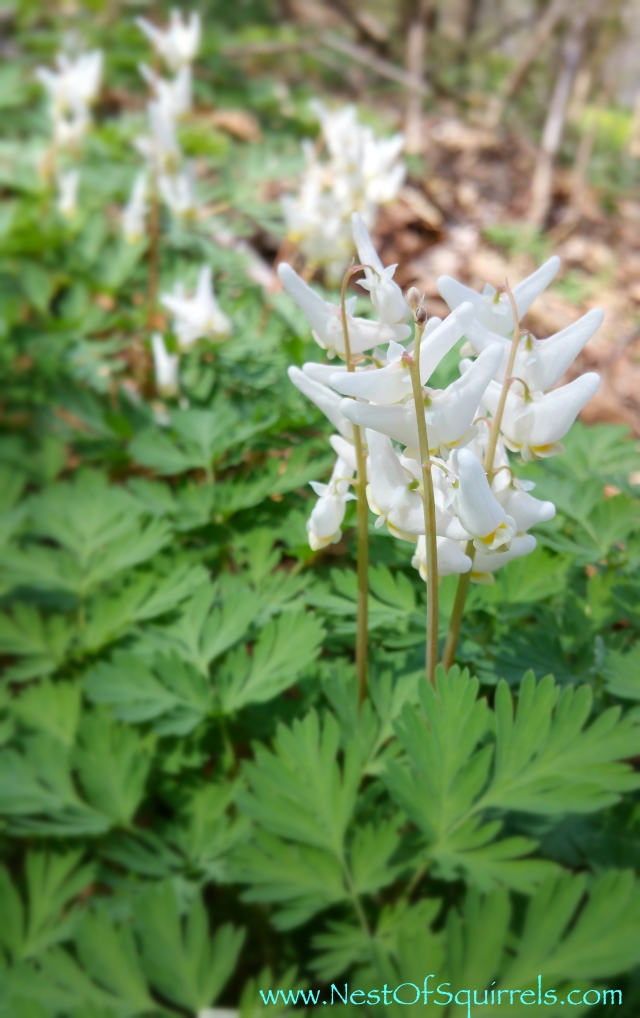 Dutchman's Breeches2