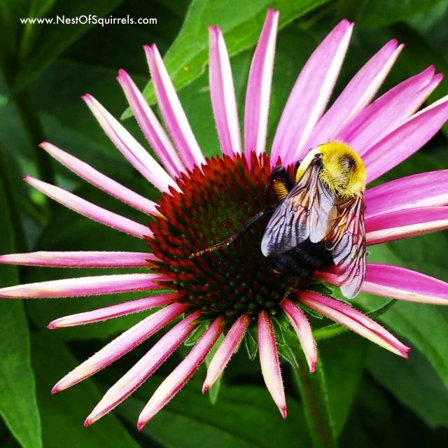 Bee Coneflower