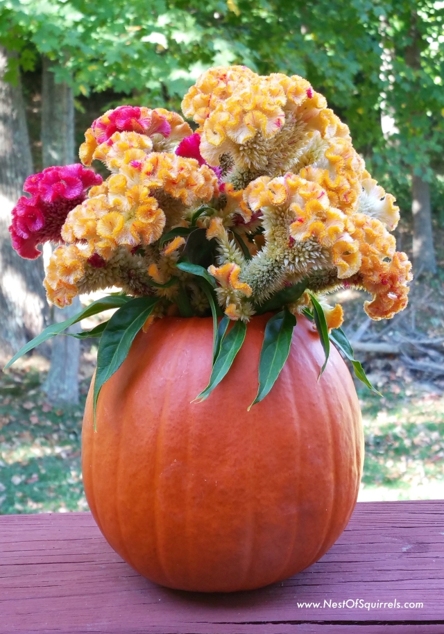 Pumpkin celsosia1