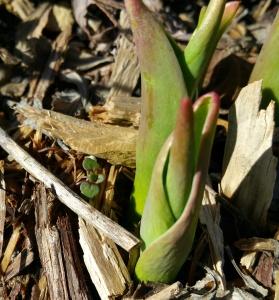 Daffodil shoot