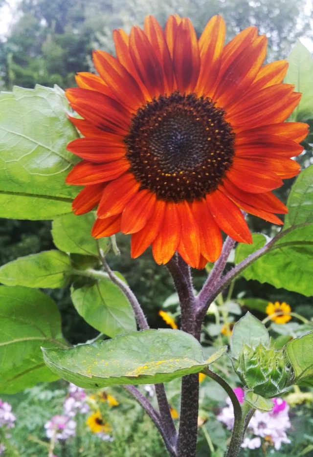 Scarlet Sunflower