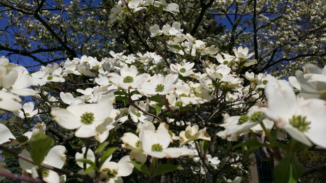 Dogwood Horizontal