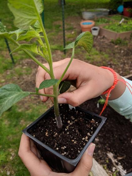 Pinching tomato leaves