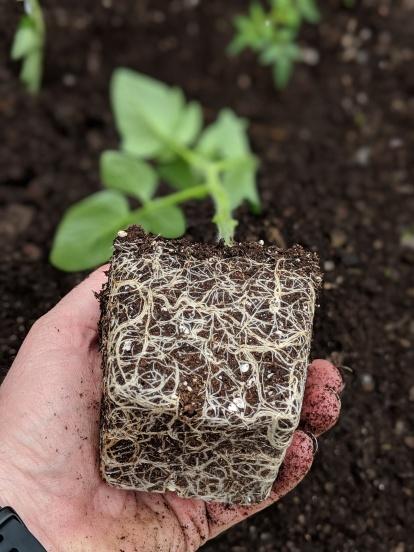 Tomatoe seedling root