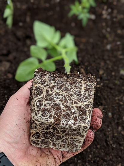 Tomatoe seedling root